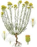 бессмертник - части растения