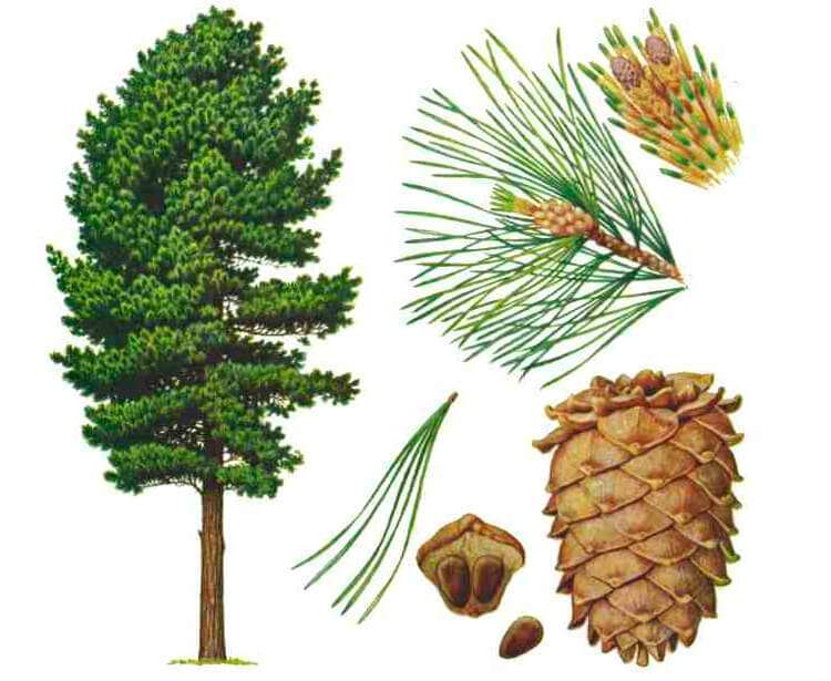 кедр - части растения