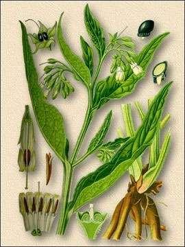 окопник - части растения