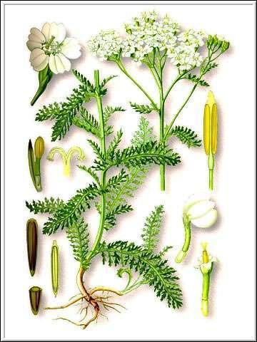 тысячелистник, части растения