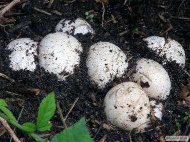 целебные яйца веселки